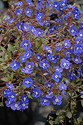 Georgia Blue Speedwell (Veronica peduncularis 'Georgia Blue') at Echter's Nursery & Garden Center