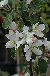 Granny Smith Apple (Malus 'Granny Smith') at Echter's Nursery & Garden Center