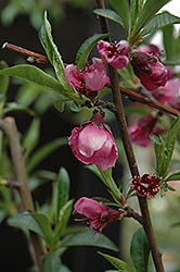Frost Peach (Prunus persica 'Frost') at Echter's Nursery & Garden Center