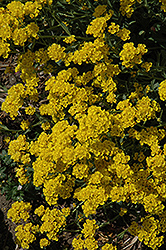 Basket Of Gold Alyssum (Aurinia saxatilis) at Echter's Nursery & Garden Center