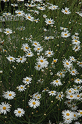 Marguerite Daisy (Argyranthemum gracile) at Echter's Nursery & Garden Center