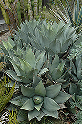 Parry's Agave (Agave parryi) at Echter's Nursery & Garden Center