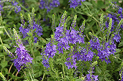 Crater Lake Blue Speedwell (Veronica austriaca 'Crater Lake Blue') at Echter's Nursery & Garden Center