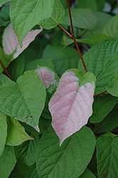 September Sun Kiwi (Actinidia kolomikta 'September Sun') at Echter's Nursery & Garden Center