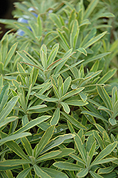 Ascot Rainbow Variegated Spurge (Euphorbia 'Ascot Rainbow') at Echter's Nursery & Garden Center