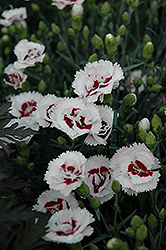 Scent First® Coconut Surprise Pinks (Dianthus 'WP05Yves') at Echter's Nursery & Garden Center