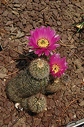 Lace Cactus (Echinocereus reichenbachii) at Echter's Nursery & Garden Center