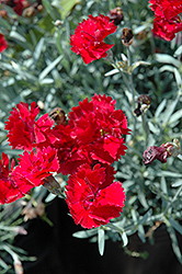 Fire Star Pinks (Dianthus 'Devon Xera') at Echter's Nursery & Garden Center
