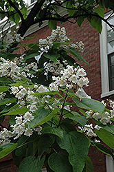 Northern Catalpa (Catalpa speciosa) at Echter's Nursery & Garden Center