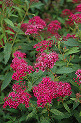 Neon Flash Spirea (Spiraea japonica 'Neon Flash') at Echter's Nursery & Garden Center