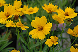 Baby Sun Tickseed (Coreopsis lanceolata 'Sonnenkind') at Echter's Nursery & Garden Center