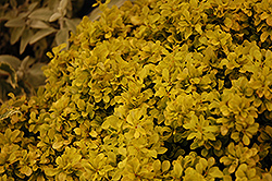 Tiny Gold Barberry (Berberis thunbergii 'Tiny Gold') at Echter's Nursery & Garden Center