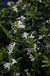 Eternal Fragrance Daphne (Daphne x transatlantica 'BLAFRA') at Echter's Nursery & Garden Center