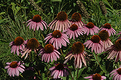 Purple Coneflower (Echinacea purpurea) at Echter's Nursery & Garden Center