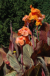 Tropicanna Canna (Canna 'Tropicanna') at Echter's Nursery & Garden Center
