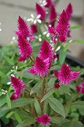 Intenz Celosia (Celosia 'Intenz') at Echter's Nursery & Garden Center