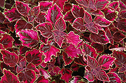 Trailing Plum Coleus (Solenostemon scutellarioides 'Trailing Plum') at Echter's Nursery & Garden Center