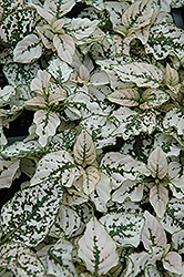 Splash Select White Polka Dot Plant (Hypoestes phyllostachya 'Splash Select White') at Echter's Nursery & Garden Center