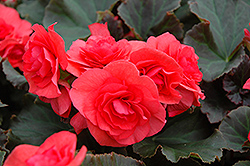 Solenia® Dark Pink Begonia (Begonia 'Solenia Dark Pink') at Echter's Nursery & Garden Center
