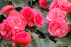 Dragone Begonia (Begonia 'Dragone') at Echter's Nursery & Garden Center