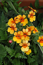 Juicy Fruits Kumquat Nemesia (Nemesia 'Juicy Fruits Kumquat') at Echter's Nursery & Garden Center