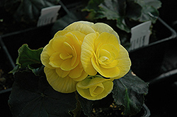 Blitz Begonia (Begonia 'Blitz') at Echter's Nursery & Garden Center