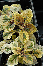 Troy's Gold Swedish Ivy (Plectranthus 'Troy's Gold') at Echter's Nursery & Garden Center