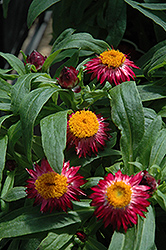 Mohave Dark Red Strawflower (Bracteantha bracteata 'Mohave Dark Red') at Echter's Nursery & Garden Center
