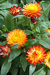 Mohave Autumn Bronze Strawflower (Bracteantha bracteata 'Mohave Autumn Bronze') at Echter's Nursery & Garden Center