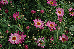 Madeira Deep Pink Marguerite Daisy (Argyranthemum frutescens 'Madeira Deep Pink') at Echter's Nursery & Garden Center