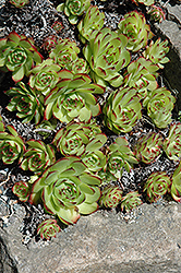 Hens And Chicks (Sempervivum tectorum) at Echter's Nursery & Garden Center