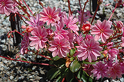 Bitterroot (Lewisia cotyledon) at Echter's Nursery & Garden Center