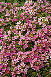 Easter Bonnet Deep Pink Alyssum (Lobularia maritima 'Easter Bonnet Deep Pink') at Echter's Nursery & Garden Center