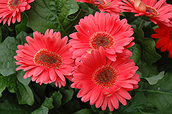 Coral Gerbera Daisy (Gerbera 'Coral') at Echter's Nursery & Garden Center