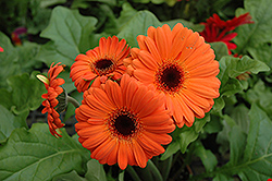Orange Gerbera Daisy (Gerbera 'Orange') at Echter's Nursery & Garden Center