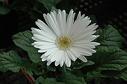 White Gerbera Daisy (Gerbera 'White') at Echter's Nursery & Garden Center