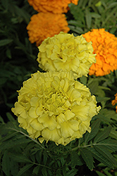 Taishan Yellow Marigold (Tagetes erecta 'Taishan Yellow') at Echter's Nursery & Garden Center