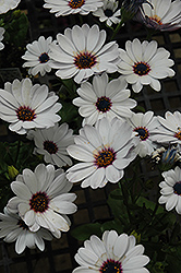 Summertime Sweet White African Daisy (Osteospermum 'Summertime Sweet White') at Echter's Nursery & Garden Center