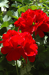 Calliope® Dark Red Geranium (Pelargonium 'Calliope Dark Red') at Echter's Nursery & Garden Center