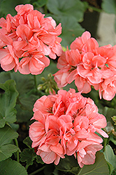 Patriot Salmon Geranium (Pelargonium 'Patriot Salmon') at Echter's Nursery & Garden Center