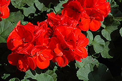 Patriot Red Geranium (Pelargonium 'Patriot Red') at Echter's Nursery & Garden Center