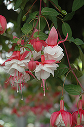 Swingtime Fuchsia (Fuchsia 'Swingtime') at Echter's Nursery & Garden Center