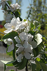 Cortland Apple (Malus 'Cortland') at Echter's Nursery & Garden Center