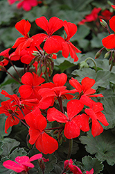Orange Ivy Leaf Geranium (Pelargonium peltatum 'Orange') at Echter's Nursery & Garden Center