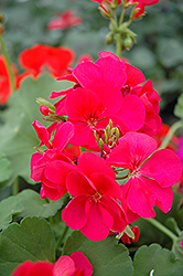 Pink Ivy Leaf Geranium (Pelargonium peltatum 'Pink') at Echter's Nursery & Garden Center