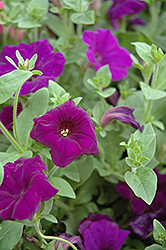 Supertunia® Royal Velvet® Petunia (Petunia 'Supertunia Royal Velvet') at Echter's Nursery & Garden Center