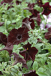 Sweetunia Black Satin Petunia (Petunia 'Sweetunia Black Satin') at Echter's Nursery & Garden Center