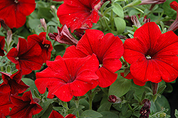 Sweetunia Hot Rod Red Petunia (Petunia 'Sweetunia Hot Rod Red') at Echter's Nursery & Garden Center