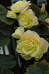 Solenia® Light Yellow Begonia (Begonia 'Solenia Light Yellow') at Echter's Nursery & Garden Center