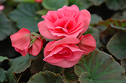 Solenia® Light Pink Begonia (Begonia 'Solenia Light Pink') at Echter's Nursery & Garden Center